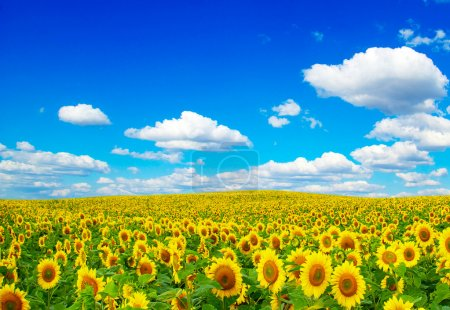 Blooming field of sunflowers