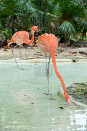 pink flamingos in water