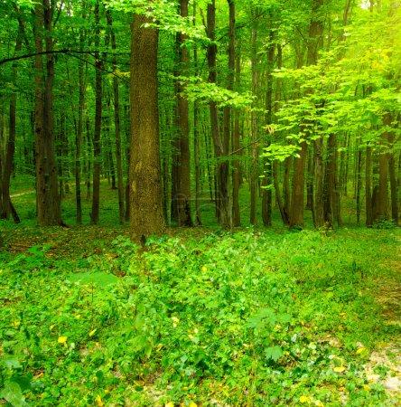 Photo pour Arbres de la forêt. fond bois nature vert - image libre de droit