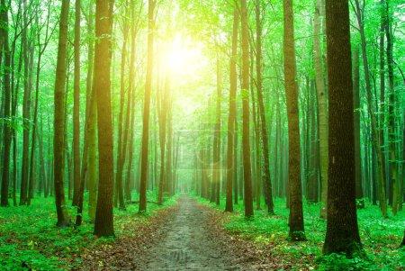 Photo pour Des arbres forestiers. nature vert bois fond - image libre de droit