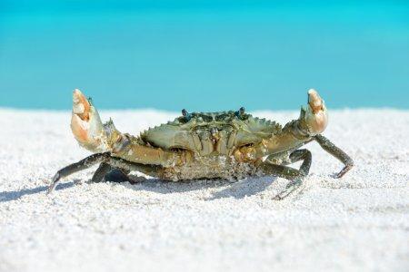 Photo pour Crabe sur fond de plage - image libre de droit