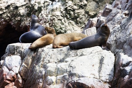 Sea lions fighting for rock