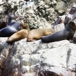 Sea lions fighting for a rock in the peruvian coas...