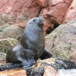 Sea lion fighting for a rock in the peruvian coast...
