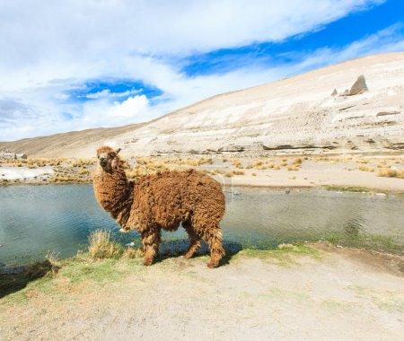 beau lama dans les Andes