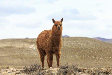 Foto de Hermoso lama en las montañas de los Andes, Perú - Imagen libre de derechos