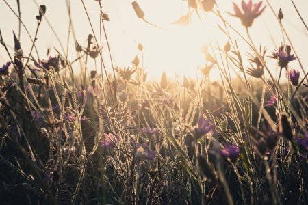 Golden glowing dry grass. Field of dry wild weed backlit with warm setting sun