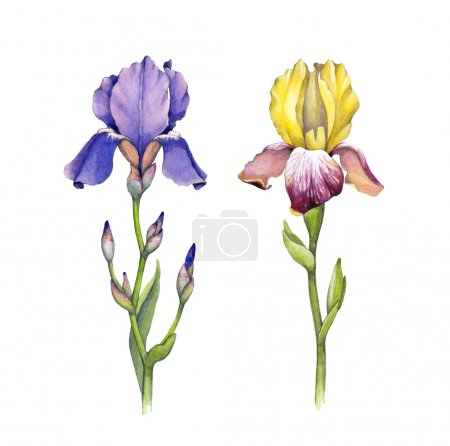 Watercolor iris flowers