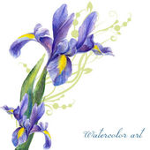 Irises drawing by watercolor