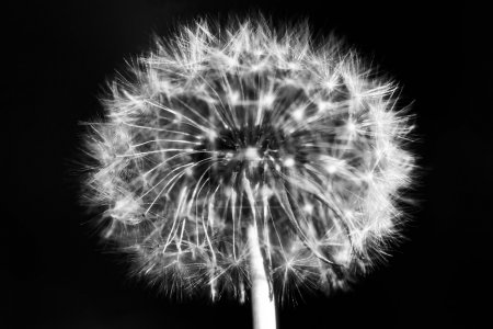 A dandelion on black background.