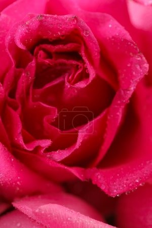 Photo for Beautiful pink rose texture - Royalty Free Image