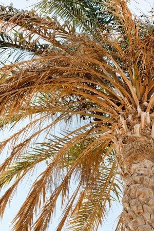 Old palm tree