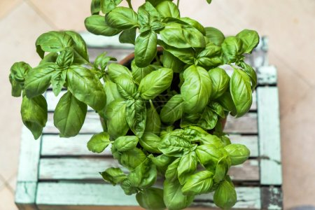 Photo for Green aromatic basil in the pot - Royalty Free Image