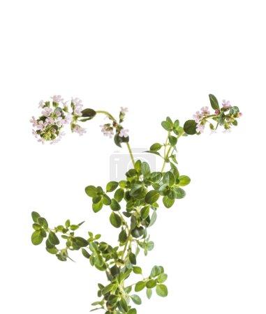 fresh thyme flowers