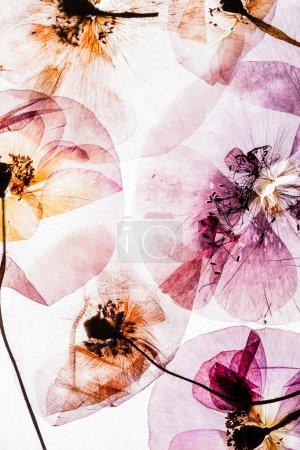 pressed poppy flowers