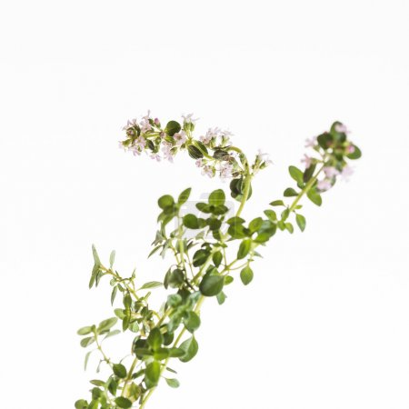 green thyme flowers