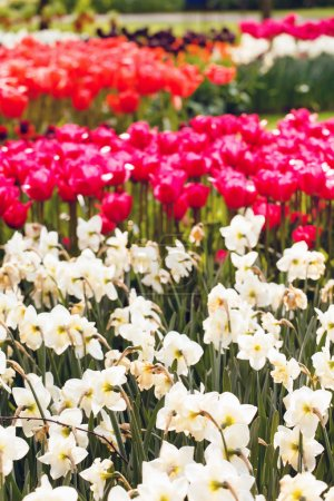 Photo for Colorful tulip and narcissus flowers  in spring garden - Royalty Free Image