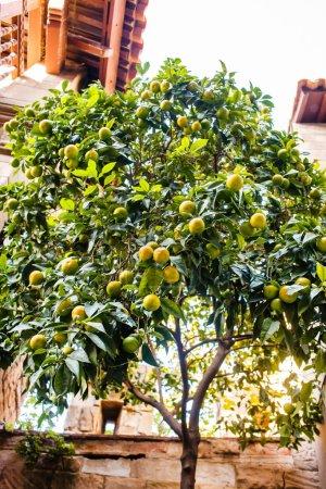 Tree with ripe tangerines
