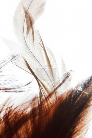 Brown color feathers