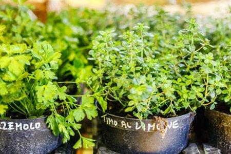 Green herbs in pots