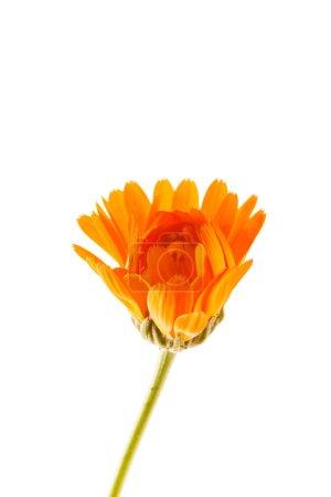 Photo pour Fleur de calendula isolé sur fond blanc - image libre de droit