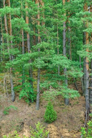 forest trees trunks