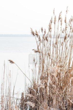 Photo pour Tiges de roseau de graines sur l'étang - image libre de droit