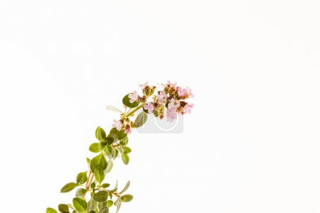 Thyme flowers on white