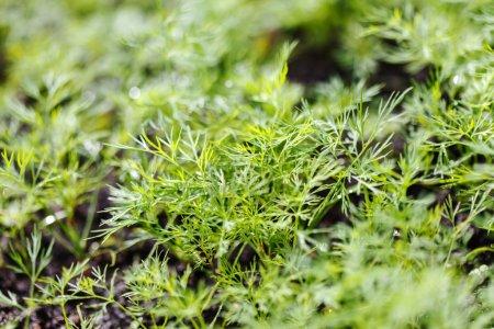 green dill in garden
