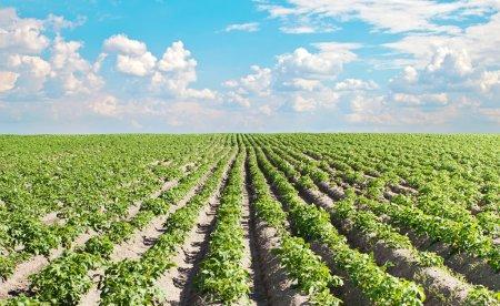 Potato field under sky