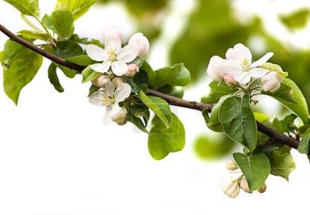 Foto de Rama en flor de cerezo aislada en blanco - Imagen libre de derechos