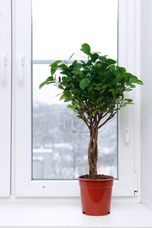 Photo for Home interior. Nice ficus in flower pot on windowsill - Royalty Free Image