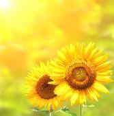 Zářivě žluté slunečnice na žlutém podkladu