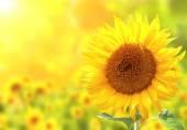 Slunečnice na slunné rozmazané pozadí