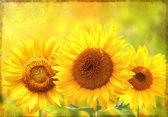 Grunge pozadí s slunečnice