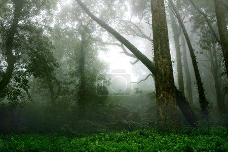 Photo pour Paysage mystérieux de la Forêt brumeuse - image libre de droit