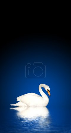 Photo for Mute swan on blue background - Royalty Free Image