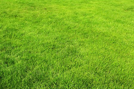 Photo for Texture of spring green grass - Royalty Free Image