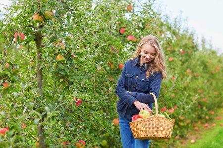 Woman picking ripe organic apples