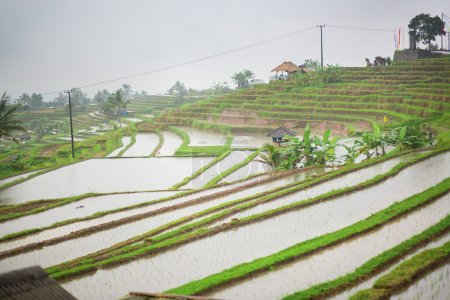 Jatiluwih rice terrace on a rainy day