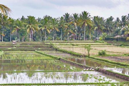 Rice fields on a rainy weather near Ubud, Bali
