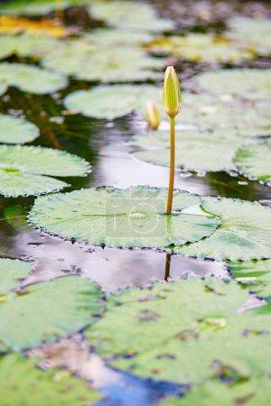 Photo pour Buf fleur de nénuphar dans l'étang - image libre de droit