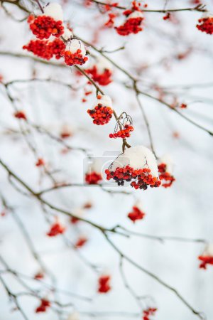 Photo for Mountain-ash berries covered with snow - Royalty Free Image