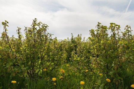 Photo pour Buissons croissants du Cassis et groseilles rouges. - image libre de droit