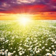 Field of daisies,blue sky and sun....