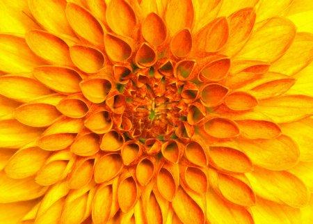 Photo pour Gros plan de fleur colorée  . - image libre de droit