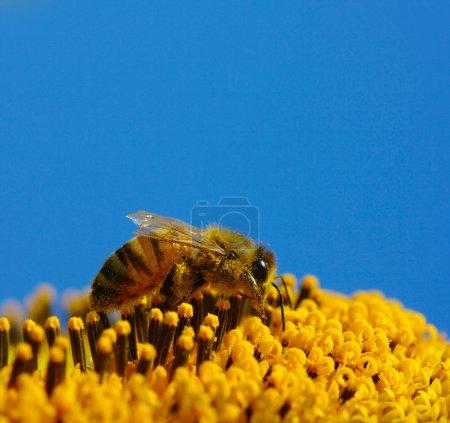 Photo pour Abeille recueille le pollen dans le tournesol - image libre de droit