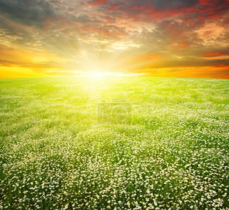 Photo for Field of daisies,blue sky and sun. - Royalty Free Image