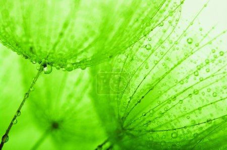 Photo pour Fleur de pissenlit avec gouttes d'eau - image libre de droit