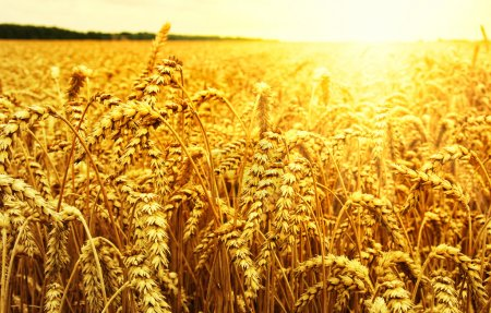the wheat  background